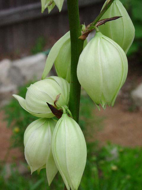 Yucca rupicola flws11 (480x640, 207Kb)