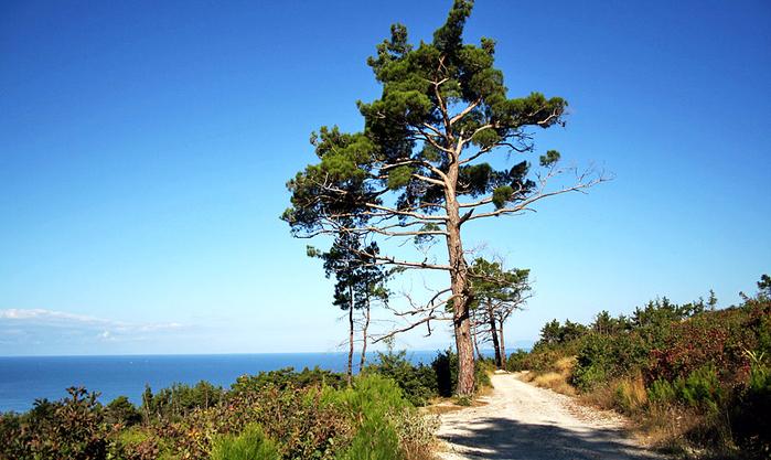 Магия деревьев- Сосна