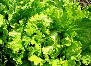 зеленые салаты (300x219, 150Kb)