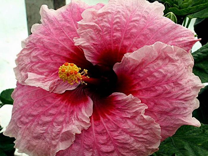 Гибискус, кутайская роза26 (700x525, 390Kb)