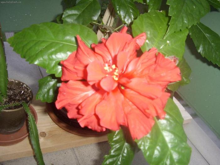 Гибискус, кутайская роза3 (700x525, 339Kb)