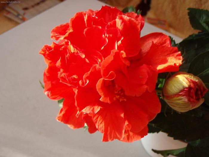 Гибискус, кутайская роза9 (700x525, 283Kb)