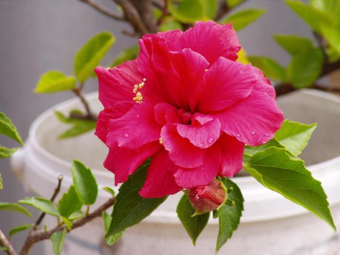 Гибискус, кутайская роза11 (700x525, 329Kb)