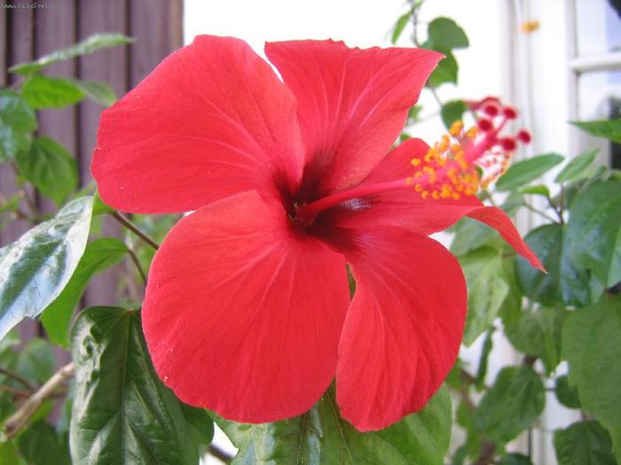Гибискус, кутайская роза15 (700x525, 327Kb)