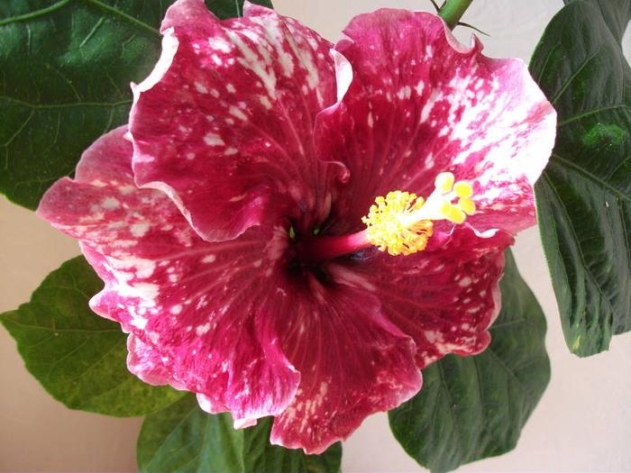 Гибискус, кутайская роза24 (700x525, 407Kb)