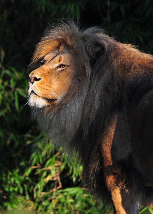 sunlit_lion_6807_by_robbobert-d39rae3 (500x700, 373Kb)