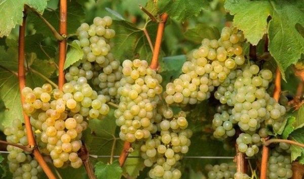 виноград (600x354, 228Kb)