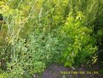 Превью Пажитник, мята садовая, эстрагон (700x525, 605Kb)