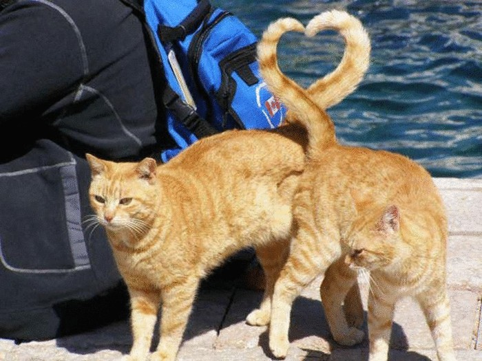 original_cats-heart-shape-with-tail-perfect-timing (700x525, 114Kb)