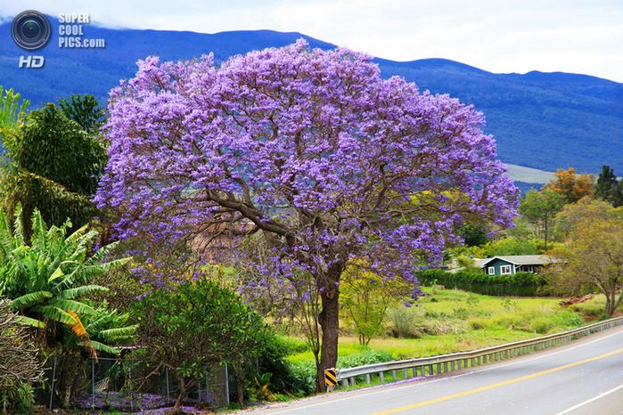 ЖАКАРАНДА - дерево 22 (700x466, 542Kb)
