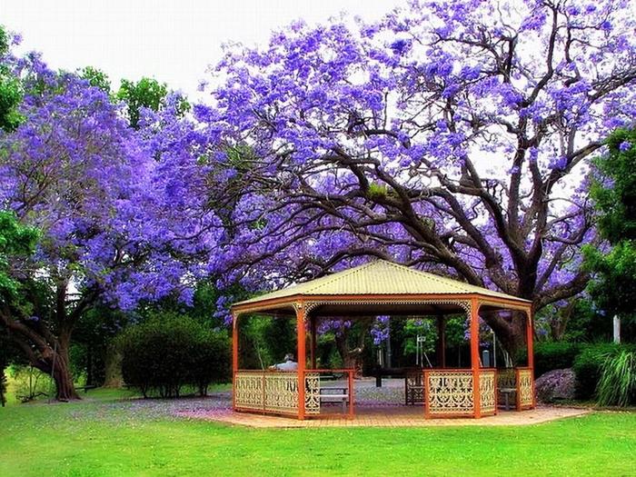 ЖАКАРАНДА - дерево 29 (700x525, 545Kb)