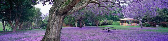 ЖАКАРАНДА - дерево горизонт (700x173, 187Kb)