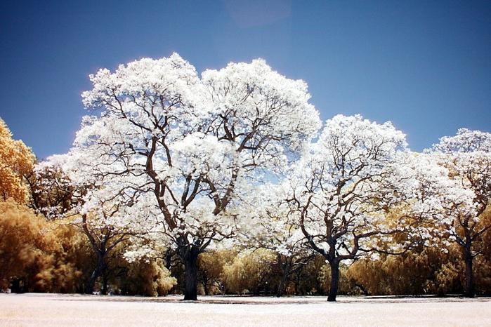 ЖАКАРАНДА - дерево 25 (700x466, 417Kb)