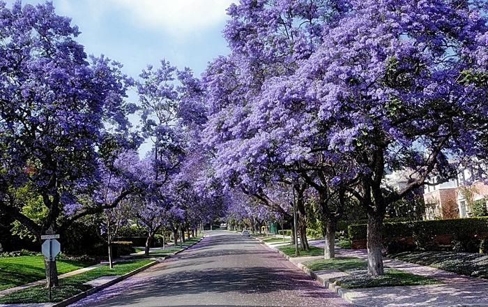 ЖАКАРАНДА - дерево 23 (700x440, 544Kb)