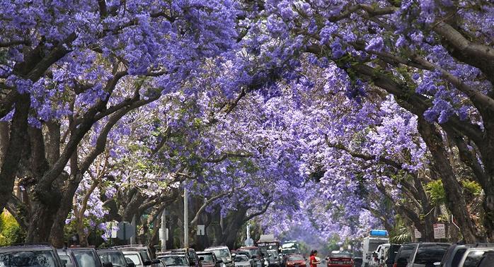 ЖАКАРАНДА - дерево 17 (700x378, 418Kb)