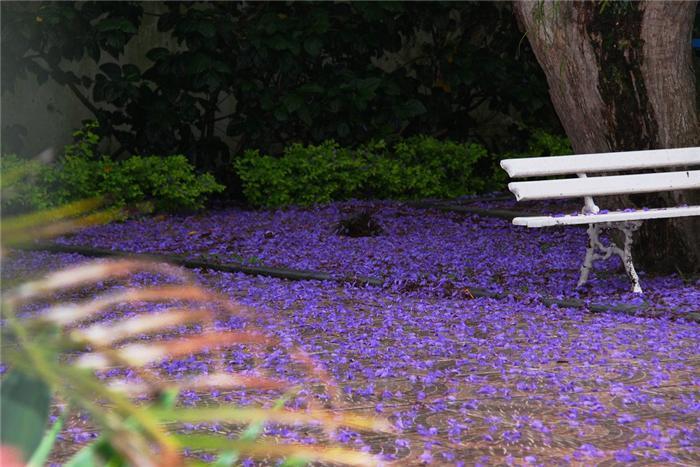 ЖАКАРАНДА - дерево скамейка (700x467, 302Kb)