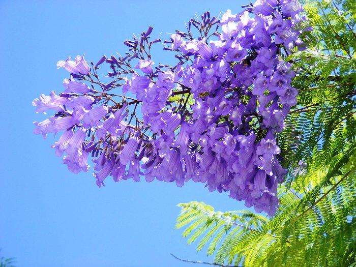 ЖАКАРАНДА - дерево 16 (700x525, 465Kb)