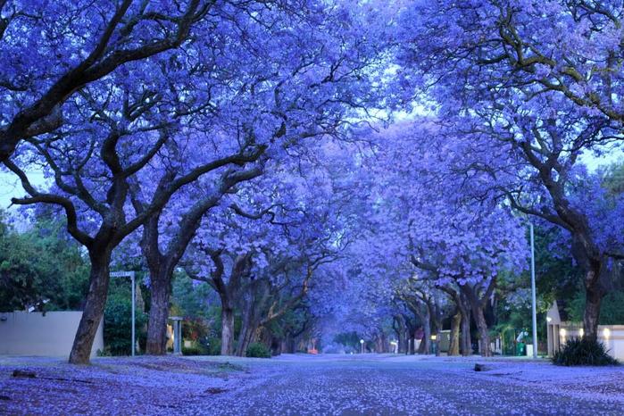 ЖАКАРАНДА - дерево 12 (700x466, 493Kb)