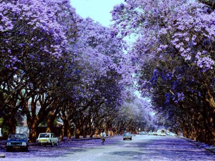ЖАКАРАНДА - дерево 9 (700x525, 477Kb)