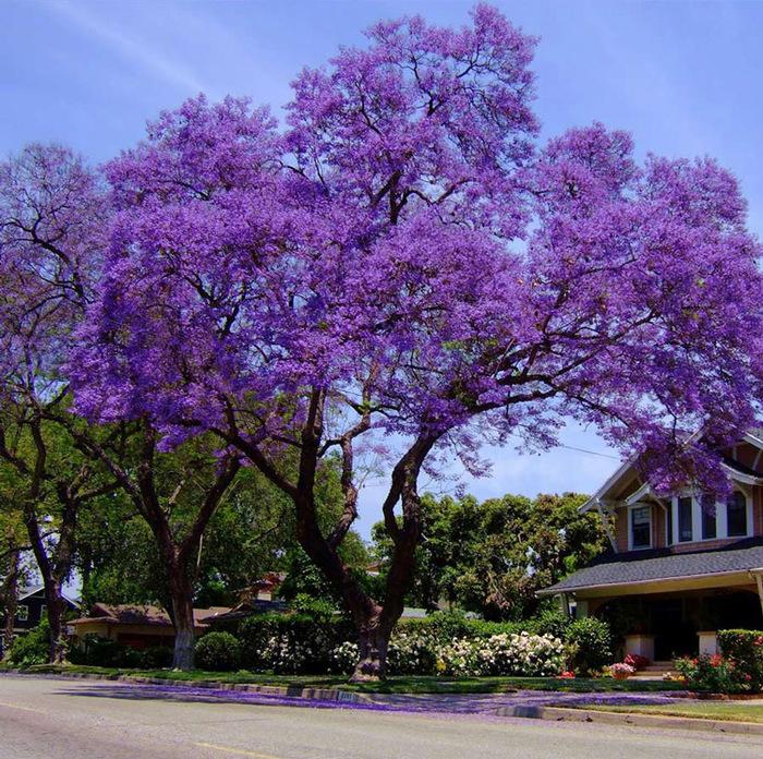 ЖАКАРАНДА - дерево 7 (700x696, 621Kb)