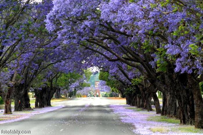 ЖАКАРАНДА - дерево 4 (700x467, 376Kb)