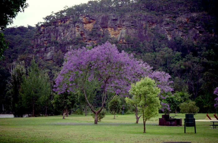 ЖАКАРАНДА - дерево 3 (700x460, 406Kb)