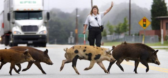 животные переходят дорогу 1 (700x326, 212Kb)