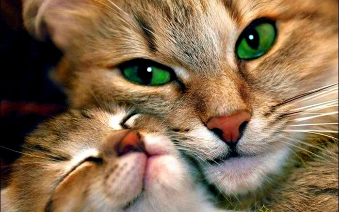lovely-cat-hd-wallpapers (700x437, 124Kb)