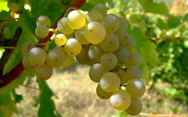 виноград (600x375, 204Kb)