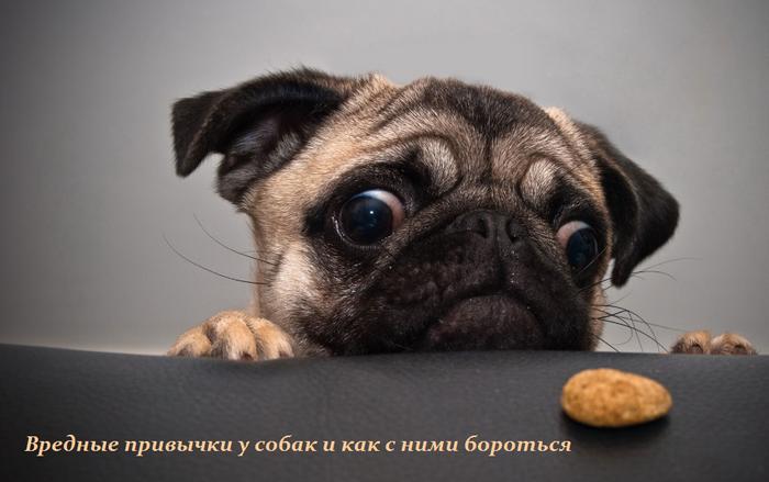 1439819129_Vrednuye_privuychki_u_sobak_i_kak_s_nimi_borot_sya (700x439, 378Kb)