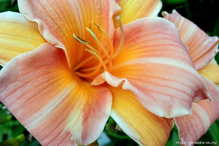 ботанический сад 2015 (79) (700x466, 244Kb)