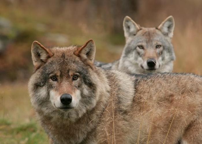 дикие волки фото 1 (700x498, 250Kb)