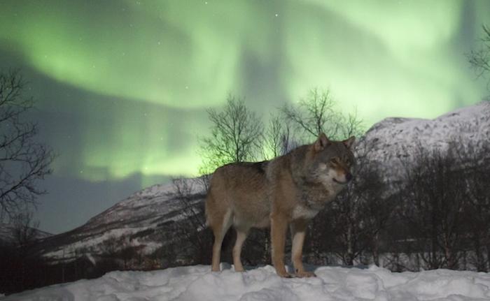 дикие волки фото 7 (700x431, 212Kb)