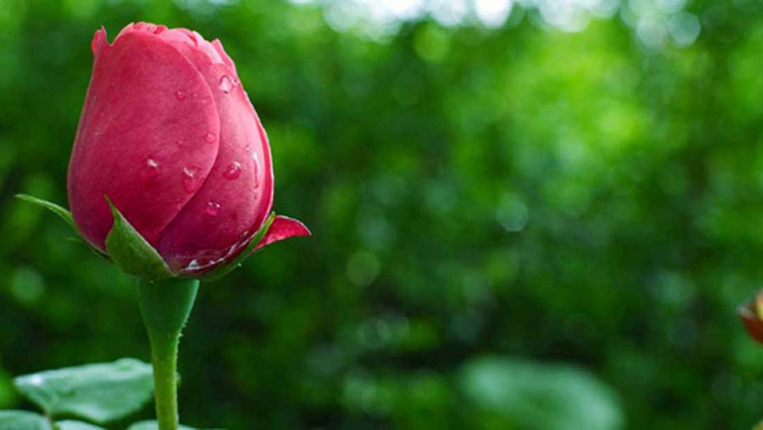 Awesome-Pink-Rose-Wallpaper-1024x577 (700x394, 213Kb)