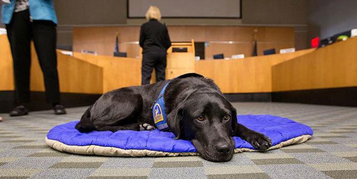 собаки работают в суде Courthouse Dogs 3 (700x352, 157Kb)