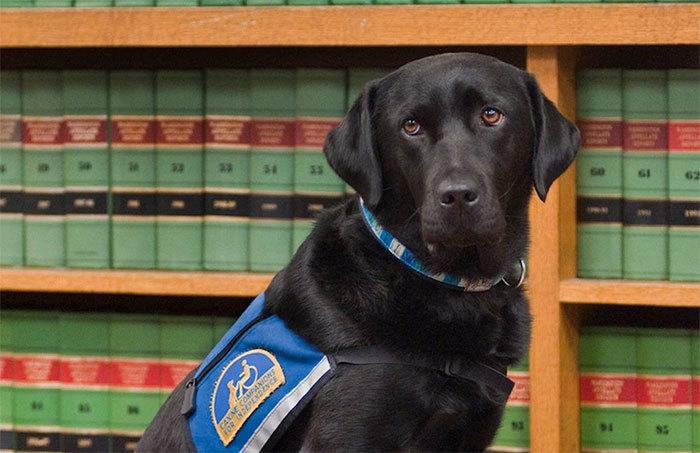 собаки работают в суде Courthouse Dogs 5 (700x453, 202Kb)