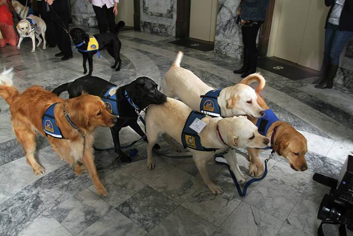 собаки работают в суде Courthouse Dogs 9 (700x468, 266Kb)