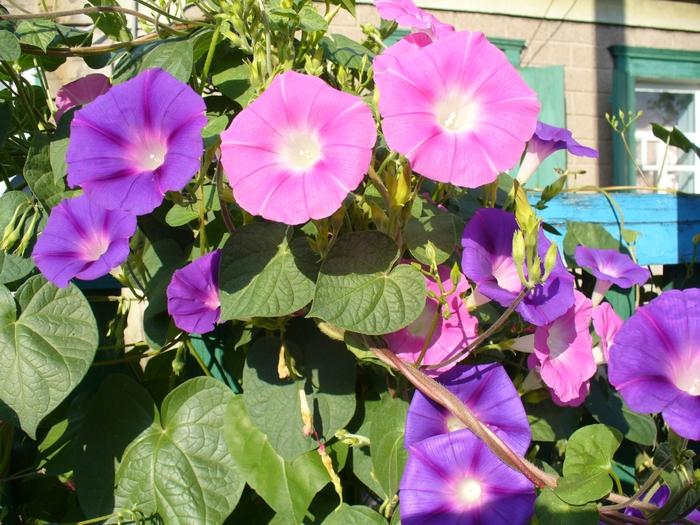 Многолетние цветы на даче фото