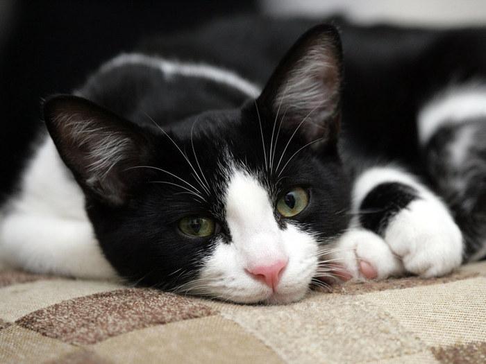 black-white-cat (700x525, 80Kb)