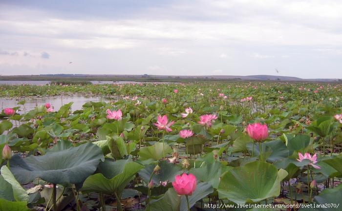 Долина лотосов в Ахтанизовском лимане - Тамань Ру