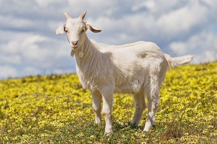 он коза она коза: