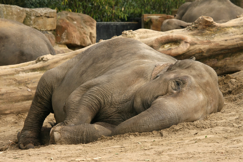 sleeping-elephant (500x334, 212Kb)