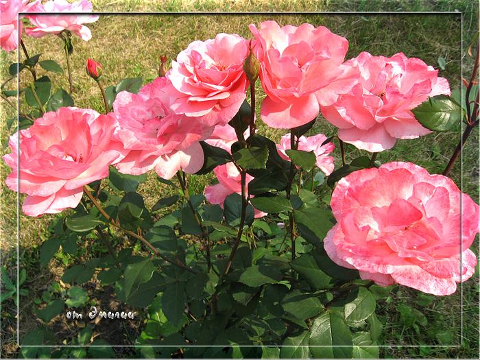 Розы от Эмилии (700x525, 569Kb)