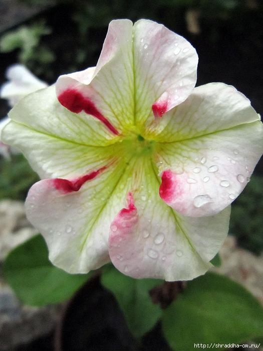дачные цветы 1 (525x700, 220Kb)