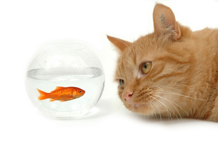 cat-goldfish01 (700x465, 134Kb)