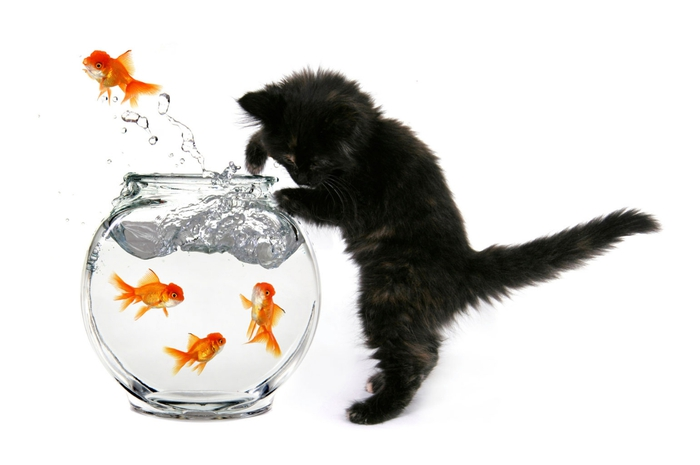 cat-goldfish02 (700x465, 107Kb)
