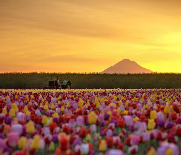 Тюльпановые поля в штате Орегон, США (604x517, 39Kb)