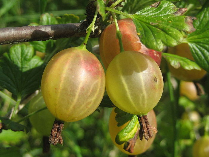 1259869_q_Gooseberries (700x525, 67Kb)