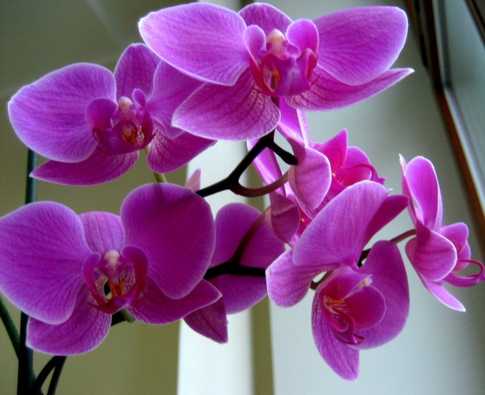 orhideya (700x569, 94Kb)