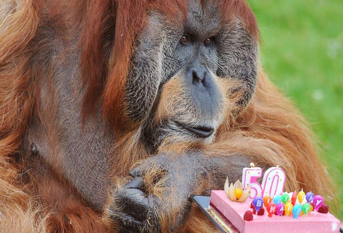 орангутанг мажор фото (700x474, 171Kb)